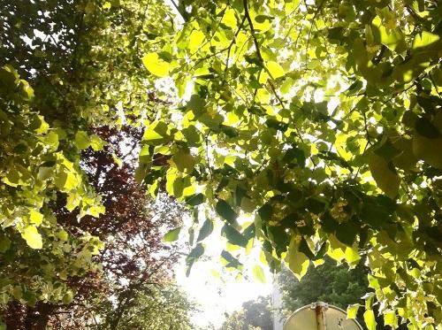 sunce_lisce