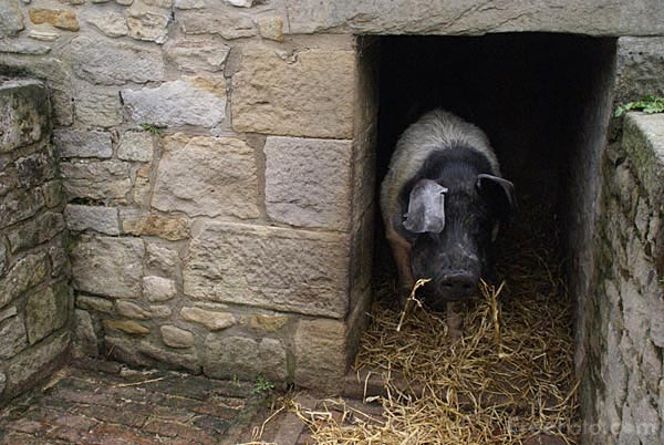 Pig in a Pigsty