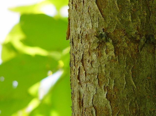 tree-bark-1521905-639x476