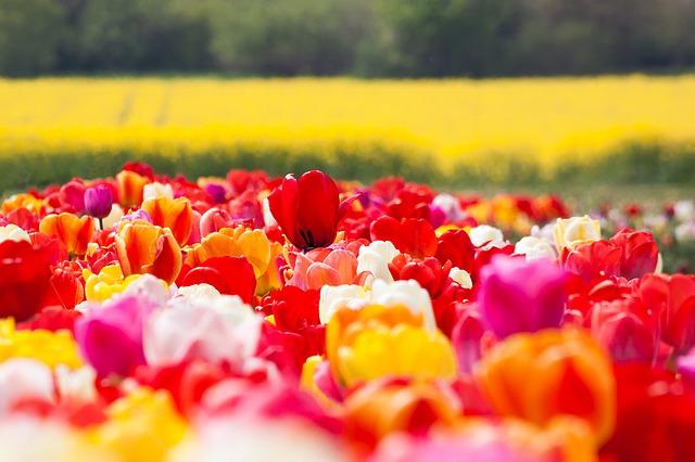 tulip-1375716_640