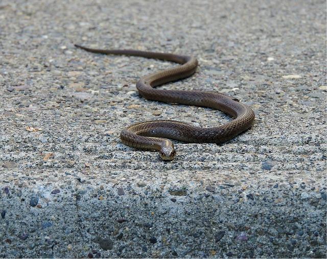 garter-snake-1264267_640