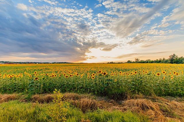 sunflower-1502357_640