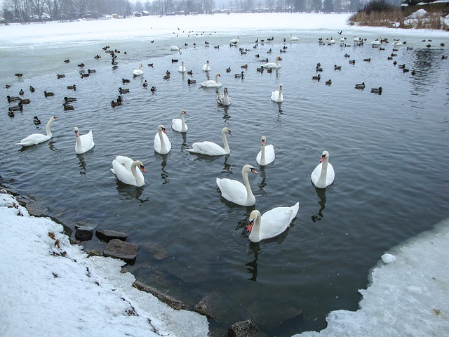 swans-1636160_640